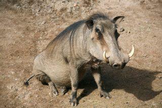 La hiena ataca a una familia de facóceros para comerse a la cría y la mamá jabalí le hace arrepentirse