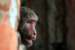 Este mono, adicto al alcohol, pasará el resto de su vida en la jaula de un zoológico por matar a una persona y morder a 250