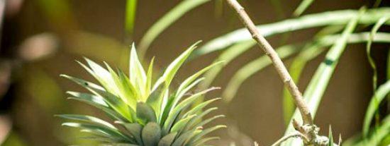Bromelina: propiedades y efectos secundarios