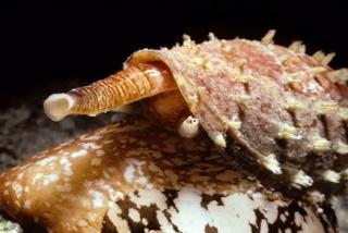 Investigadores crean un híbrido de insulina con caracoles de mar: el mejorado tratamiento para la diabetes
