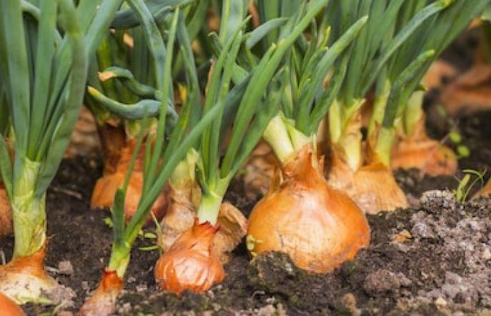 bulbos de cebollas