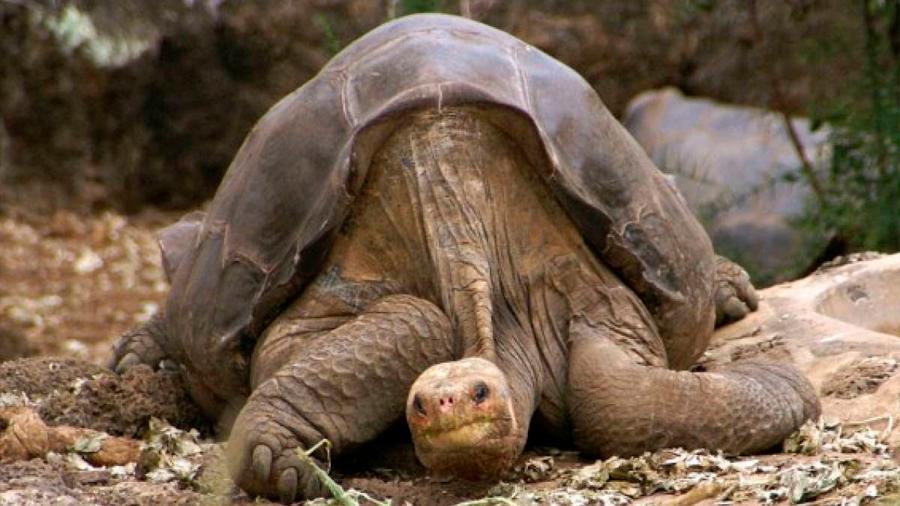 Diego, la tortuga que evita la extinción de su especie regresa a Galápagos
