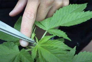Impacto económico de la legalización de la marihuana en España tras la crisis del COVID-19