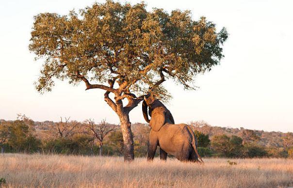 Sclerocarya birrea árbol morula