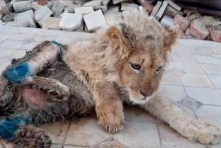 ¡Salvaron a Simba!, el cachorro de león al que fracturaron sus patas para que los turistas se hicieran'selfies'con él