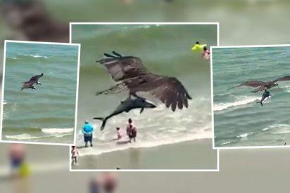 El impresionante instante en el que un águila atrapa a un tiburón y se lo 'merienda' volando