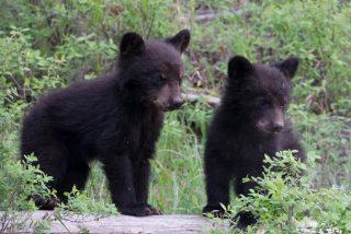 El cuento de 'los tres osos' al revés: descubre tres oseznos en su cocina y se desata el caos