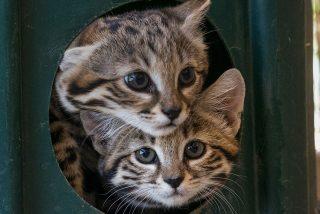 Crías del felino más letal del mundo prueban carne por primera vez