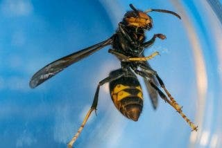 Fallece en Gijón un hombre de 40 años tras un ataque de avispas asiáticas