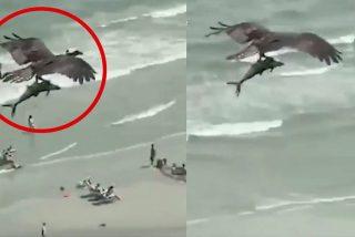 El instante en el que el águila atrapa al tiburón y se lo 'merienda' volando