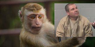 Narcotráfico: El trágico final de 'Botas', el mono que delató al Chapo Guzmán