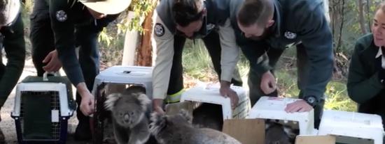 Los australianos llevan de vuelta al bosque a los koalas que fueron evacuados por los devastadores incendios del pasado verano