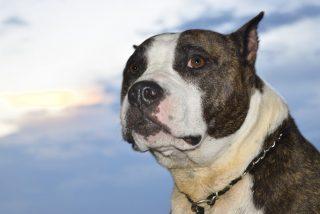 Mako, el perro pitbull que trepa por los árboles y no ladra porque cree ser un gato