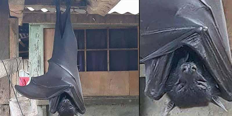 Un murciélago del tamaño de un humano hallado en Filipinas causa pánico en las redes