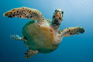 La Guardia Civil rescata una tortuga de 350 kilos atrapada por el cuello
