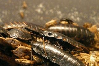 Descubren en el fondo del océano una cucaracha gigante