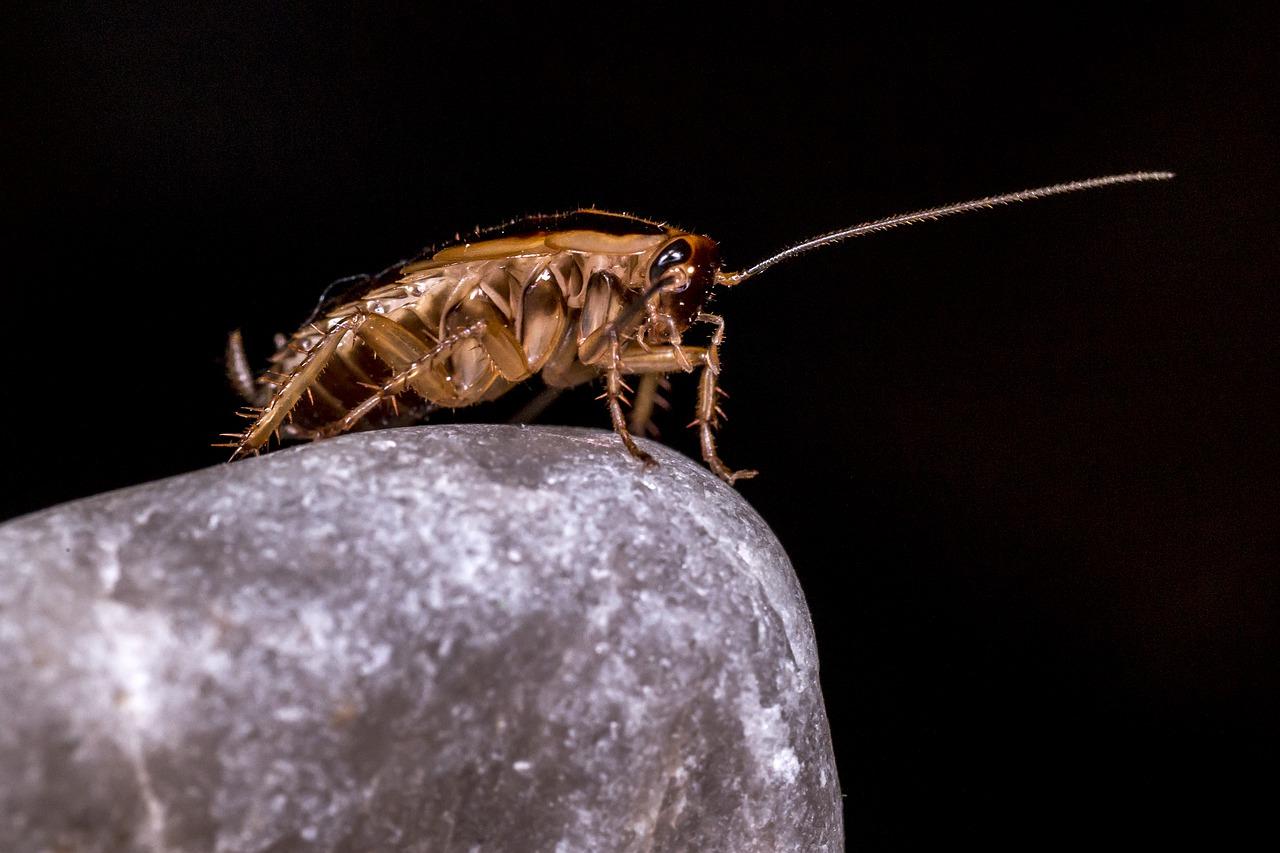 Lo que no sabías y no podrás creer sobre las cucarachas