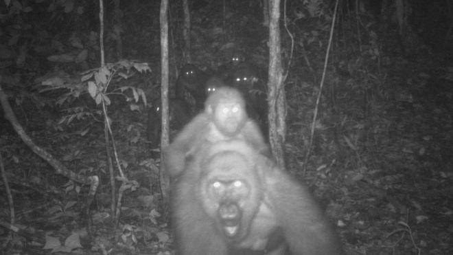 Captan increíbles imágenesfamiliares del gorila más difícil de ver en el mundo