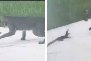 Desenlace mortal: el caimán bebé se atreve en un feroz combate contra un lince