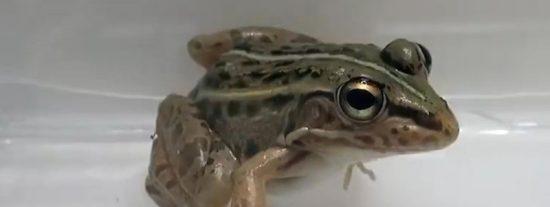 Cómo escapar vivo de la panza de la rana: este escarabajo lo hizo por la puerta de atrás