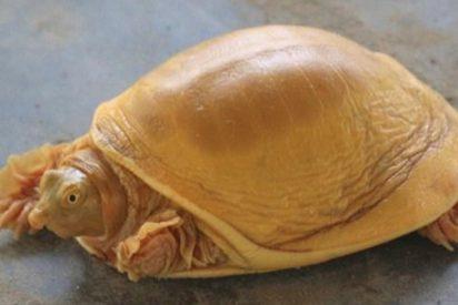 Aparece en Nepal una tortuga y la veneran como la encarnación del dios Vishnú