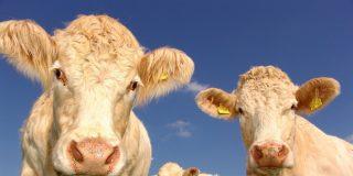 Tiempo Animal: Las vacas protagonizan el informativo meteorológico en Gran Bretaña