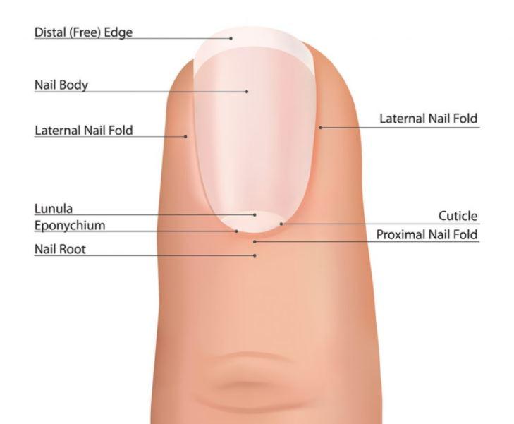 función de las cutículas de las uñas