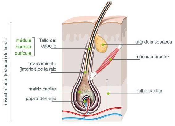 estructura de un pelo humano