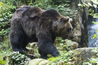 Intentan rescatar a un oso herido tras ser atropellado en Somiedo