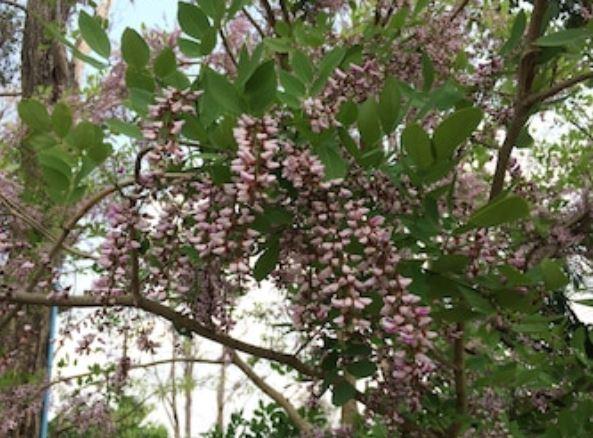 árbol de palo de rosa