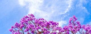 Palo de rosa o polisandro propiedades