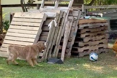 El gallo y la perra juegan al 'gato y el ratón'