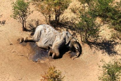 Descubren al 'culpable' de la misteriosa muerte de cientos de elefantes en Botsuana