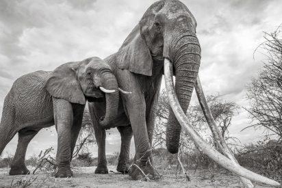 Duelo a muerte entre dos elefantes: el que pierde se convierte en comida para leones