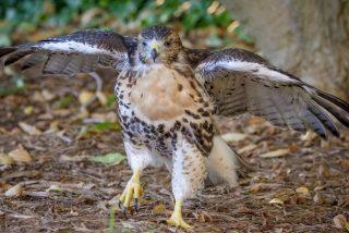 El gavilán se cabrea y derriba un dron que 'invade' su territorio