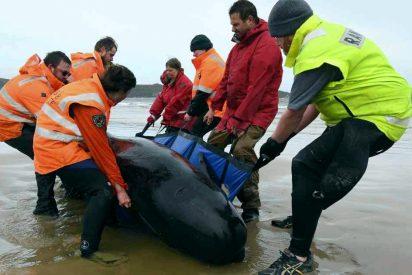 Mueren cerca de 400 ballenas piloto varadas en las costas de Tasmania