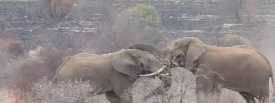 El espectacular combate a muerte entre dos elefantes grabado por unos turistas