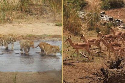 La impresionante emboscada de unas leonas a unos inocentes antílopes