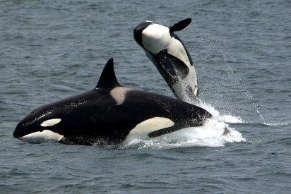 En Galicia: Un velero de la Armada es atacado por un grupo de orcas en las Rías Bajas