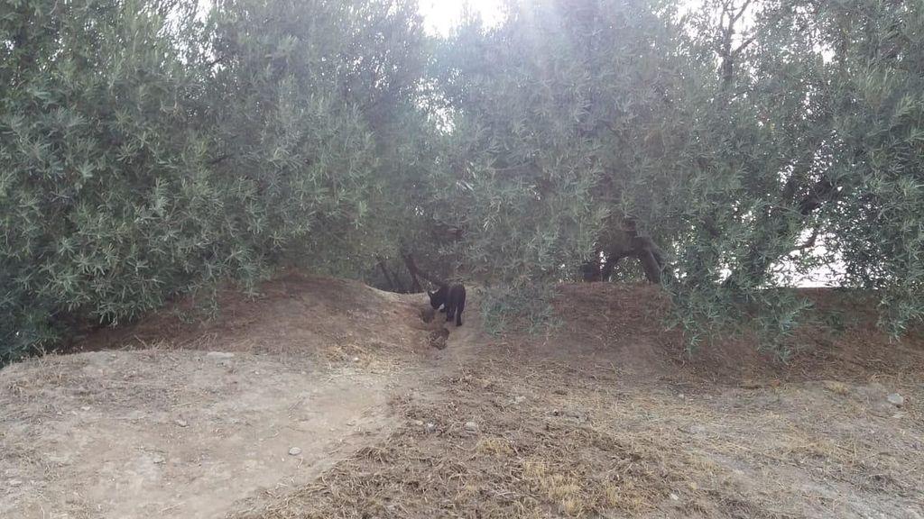 Se intensifica la búsqueda de la pantera negra en Granada: Un corderopodría ser elcebo especial para cazarla
