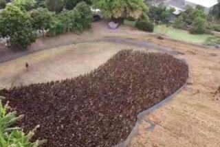 Un impresionante ejército de 10.000 patosdestruye las plagas de los arrozales en Tailandia