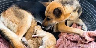 La enternecedora imagen de una pastora alemana que adopta a dos cachorros de león en Rusia