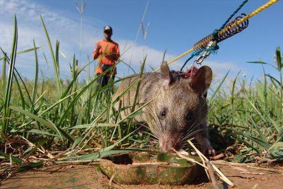 """Camboya: Condecoran a una rata detectora de minas por su """"valentía y devoción"""""""