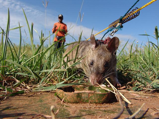 Le dieron medalla de oro a una rata por salvar vidas humanas