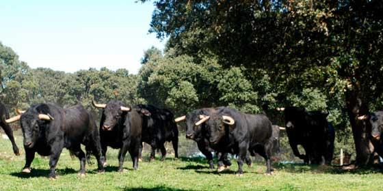 La Diputación de Salamanca lanza cuatro programas especiales en YouTube con el toro de Lidia y la dehesa