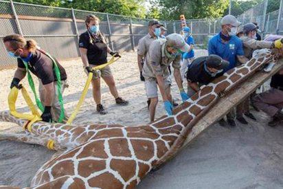 """El """"reto extremo"""" del zoo de Miami: inmovilizar a una jirafa de 4,87 metros y más de 900 kilos entre 24 personas"""