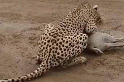 Captan en directo a un minúsculo antílope africano siendo cazado por un hambriento guepardo