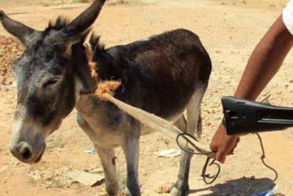 Atentado del Estado Islámico: utilizan un burro para intentar asesinar a un gobernador en Nigeria