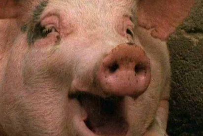 Argentina: vuelca un camión con cerdos y los transeúntes degüellan a los animales para comérselos