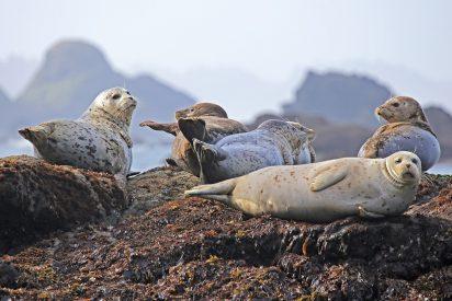 Misterio: aparecen 7.000 focas muertas en la costa de Namibia